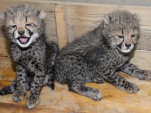 V olomoucké zoo se narodili gepardi