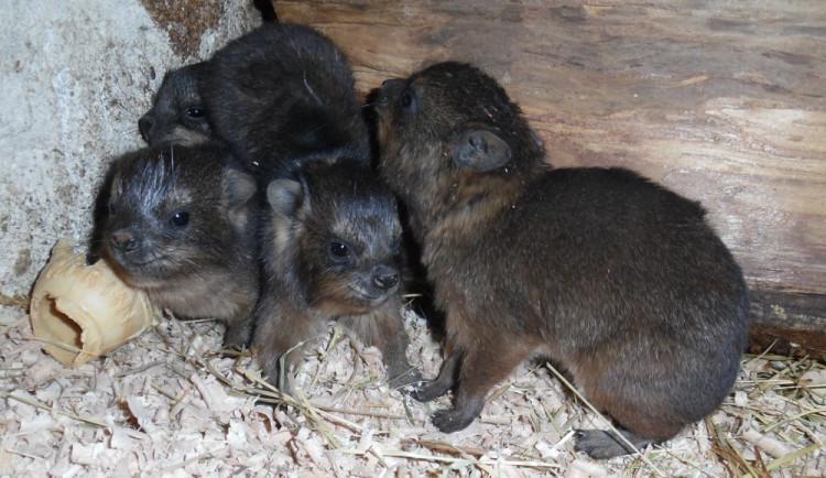V olomoucké zoo se narodila mláďata damanů skalních