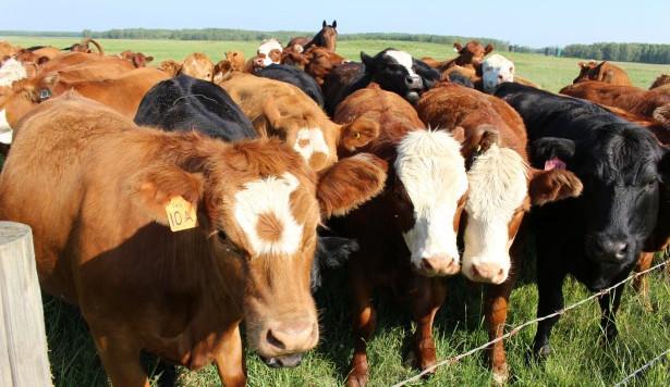 Zloděj ukradl přímo z pastvin několik krav, jalovic a býků, způsobil tím škodu přes dvě stě tisíc