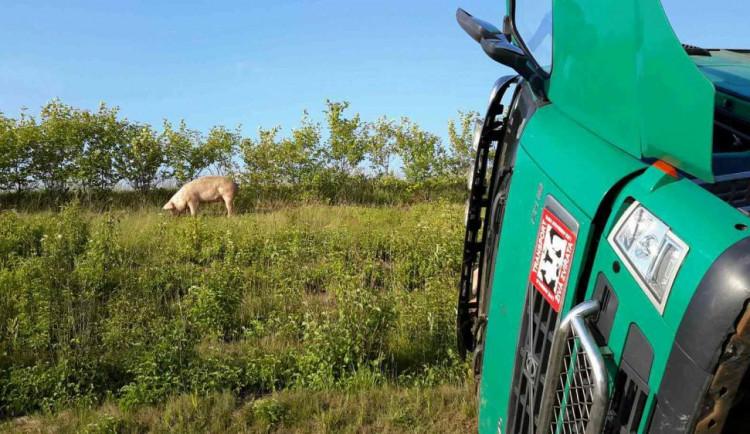 Z nabouraného kamionu utekla prasata, dálnice D1 je ve směru na Kroměříž uzavřena