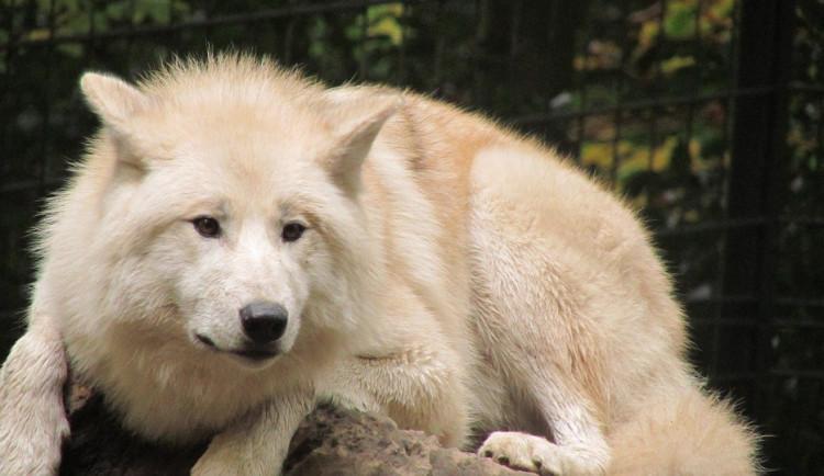 V olomoucké zoo se chystá safari s bílými vlky