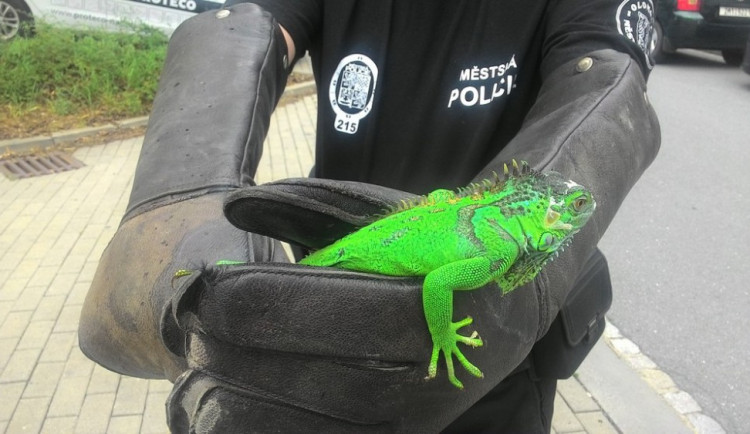 Leguán se snažil utéct z domu a lezl po fasádě. Policisté ho odchytli a následně předali majitelce