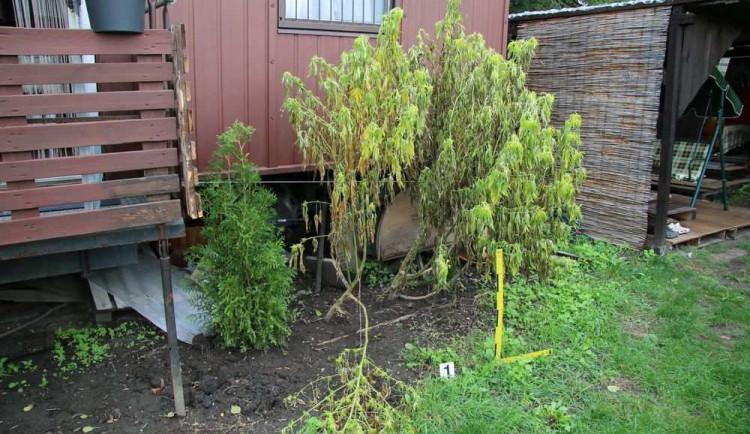 Muž pěstoval šestnáct rostlin konopí. Hrozí mu šest měsíců vězení
