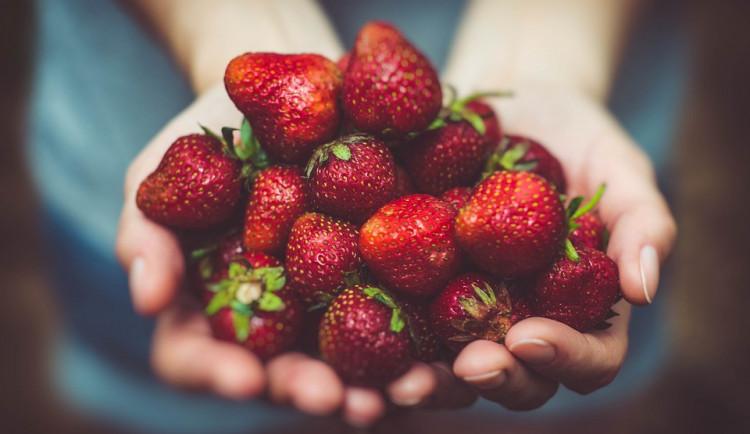 V Olomouci a okolí se sbírají jahody. Ve Skrbeni startují ve středu