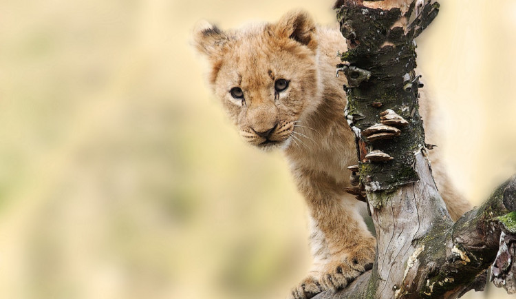 Velký úspěch olomoucké zoo, narodilo se zde mládě lva berberského