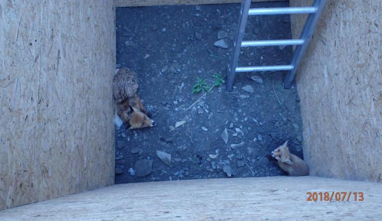 Hasiči zachránili dvě lišky, které spadly do jámy připravené k výstavbě vodního propustku