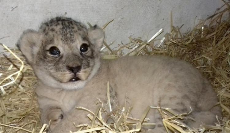 Návštěvníci olomoucké zoo už můžou vidět ve výběhu dvouměsíční mládě lva berberského