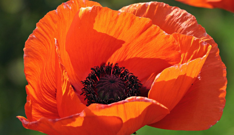 Dobrovolníci budou prodávat květy vlčího máku, výtěžek půjde na pořízení nahrávek válečných veteránů