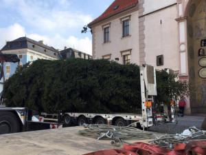 Náměstí v kraji budou zdobit borovice i smrky. V Olomouci to bude douglaska, v Přerově osmimetrový smrk