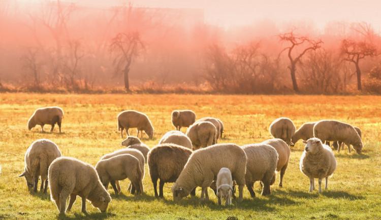 Z pastvin se ztrácejí ovce, už jich chybí několik desítek a škoda vzrůstá