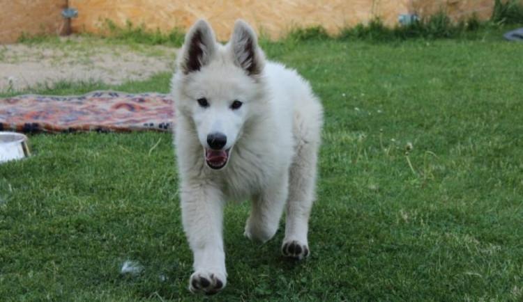 Zloděj přelezl plot a ze zahrady ukradl štěněbílého švýcarského ovčáka. Hrozí mu tři roky vězení