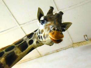 Jak se žije zvířatům v olomoucké zoo v zimě? Venčit se musí i žirafy