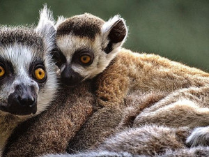 Lemurům se v olomoucké zoologické zahradě daří. Narodilo se tam již 32 mláďat