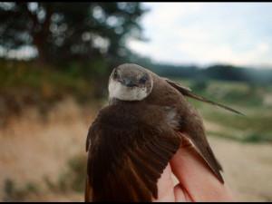 V pískovně Ondratice jsou v ohrožení břehule říční, ornitologové bijí na poplach