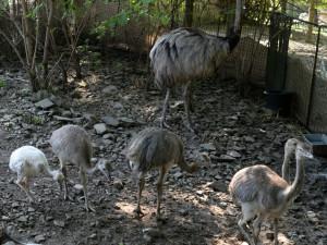 V olomoucké zoo vyseděli samci mláďata nanduů pampových