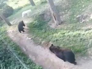 VIDEO: Zraněného vlka v olomoucké zoo napadají medvědi, píše se na facebooku. Zoo se brání