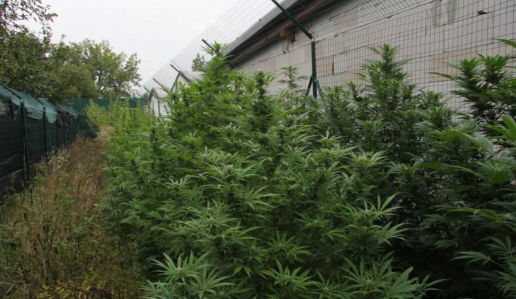 FOTO: Policisté odhalili pěstitele konopí na Zábřežsku, pěstitel už byl policii znám