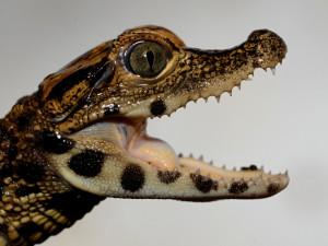 FOTO: V olomoucké zoo mají tři nová mláďata krokodýla čelnatého