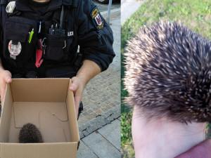 Učitelka zastavila dopravu, aby odchytila zmateného ježka. Strážníkům ho přivezla na kole v dlani