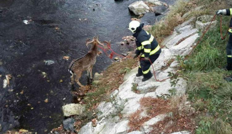 Zmatený daněk pobíhal mezi auty, pak skočil do řeky. Vytáhnout ho museli hasiči