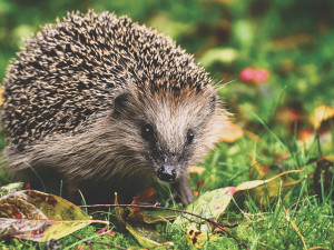 Shrabané listí pečlivě přikryté větvemi bude fungovat jako zimoviště pro ježky