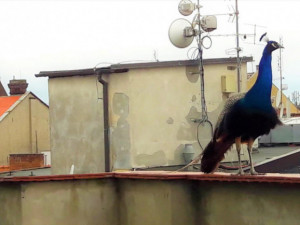 Páv terorizoval ulici v Olomouci. Před strážníky však utekl