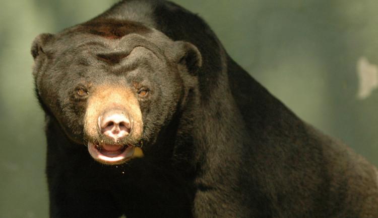 FOTO: Tvář olomoucké zoo odešla. Vzpomeňte na malajskou medvědici Báru