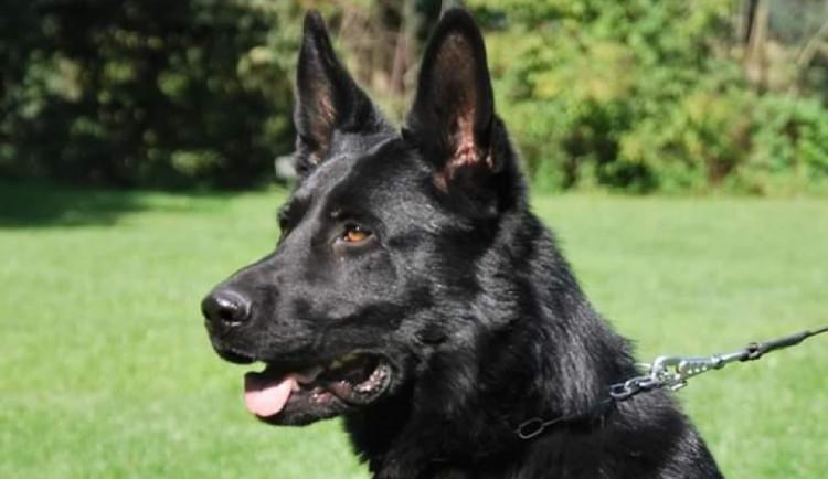 Policejní pes pomohl vypátrat řidičku schovanou v křoví