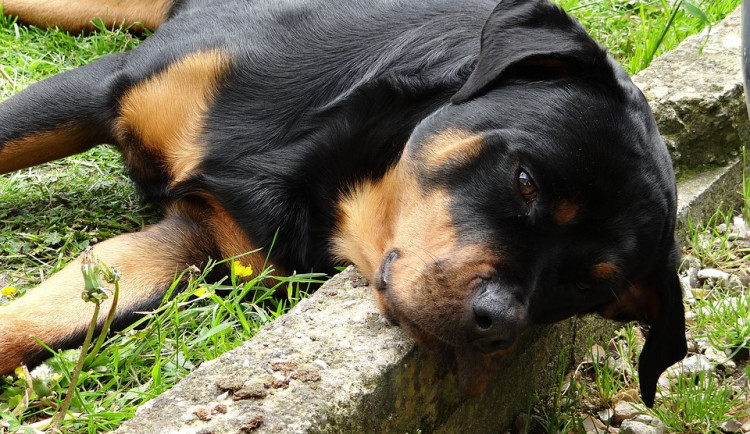 Volně pobíhajícího agresivního rotvajlera v Dobrovského ulici musel uspat veterinární technik