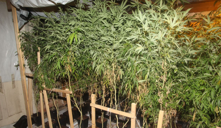 Policisté odhalili pěstírnu konopí. Našli přes dvě stovky rostlin
