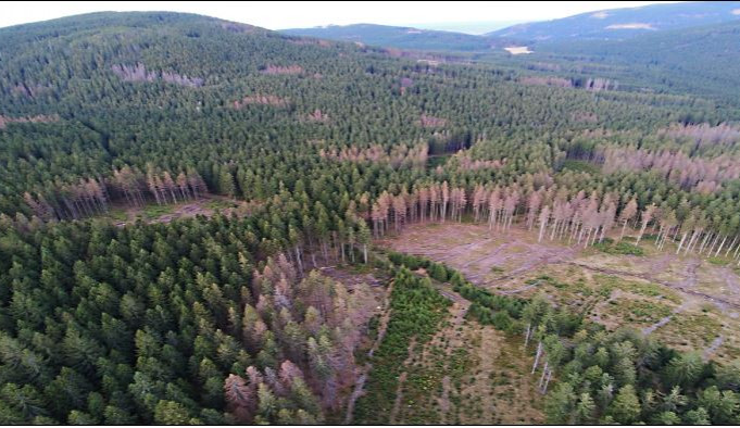 Podle aktivistů hrozí plošné vykácení Jeseníků. Jde maximálně o stovky stromů, brání se ministerstvo