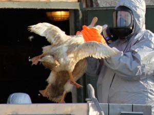 Čeští veterináři zahájili kontroly kvůli ptačí chřipce v Polsku