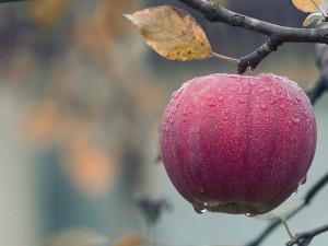 Sklizeň ovoce loni kvůli mrazům klesla o čtvrtinu