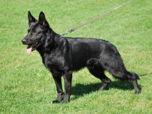 Pohřešovanou ženu pomohl nalézt policejní pes Umpa