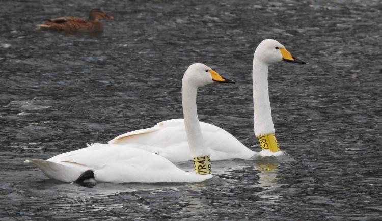 Ornitologové radí, jak přikrmovat přezimující vodní ptáky