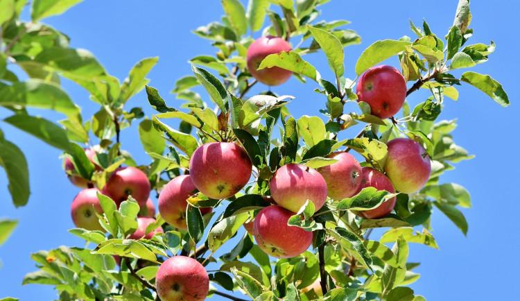 Jeseník plánuje vznik komunitního jabloňového sadu. Občané mají možnost vyjádřit svůj názor v dotazníku