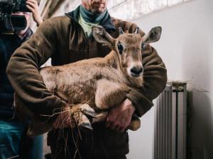 FOTO: V olomoucké zoo vážili mládě oryxe, už má jednadvacet kilo