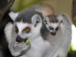FOTO: Mláďata lemurů už skotačí ve venkovním výběhu