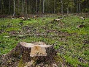 Kácením stromu způsobil škodu v desítkách tisíc korun. Hrozí mu roční trest