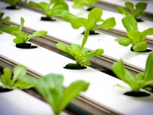 Nový přípravek pro hydroponické pěstování zvyšuje produkci zeleniny