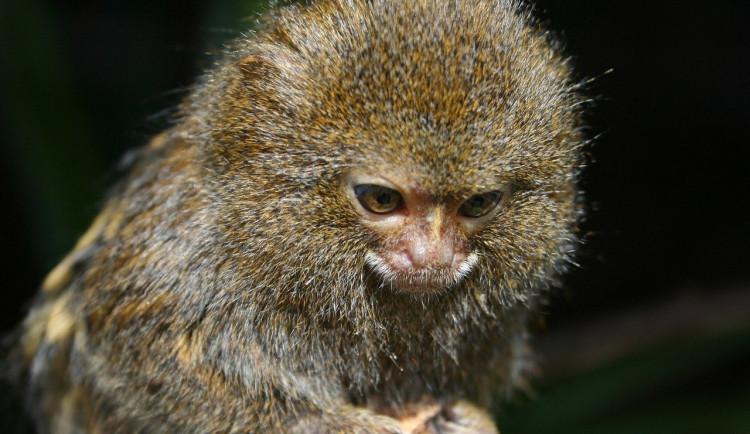 Muž zaplatil za dopravu darované opičky. Nikdy se jí nedočkal