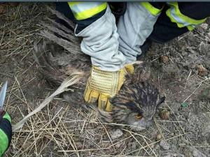 Hasiči zachraňovali sovu zamotanou do elektrického ohradníku