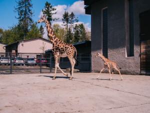 Olomoucká zoo hlásí nový přírůstek. Narodilo se mládě žirafy Rothschildovy