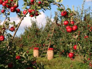 Jablka kvůli nízké úrodě zdraží až o polovinu