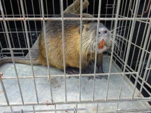 Žena se bála bobra na své zahradě. Strážníci nakonec odchytili nutrii