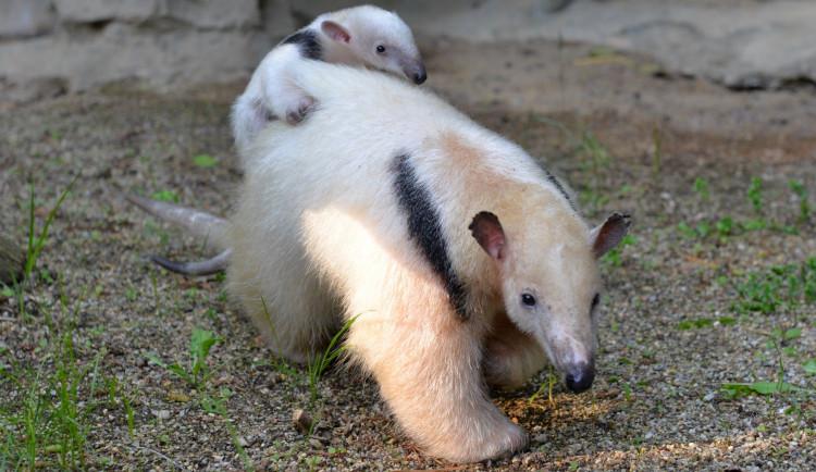 Další přírůstek mezi mravenečníky v olomoucké zoo. S lenochody tam tvoří jednu rodinu