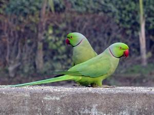Policie hledá zloděje, který ukradl exotické papoušky za statisíce