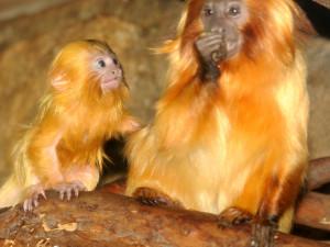 FOTO: V zoo Olomouc se narodila dvě mláďátka vzácných lvíčků