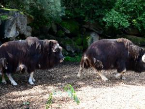 FOTO: Do olomoucké zoo se po dvou letech vrátili pižmoni. Návštěvníci už se na ně můžou podívat