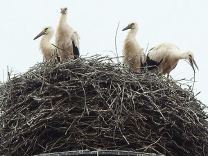 Pomozte ornitologům posčítat čápata na hnízdech. Cenný je jakýkoliv údaj